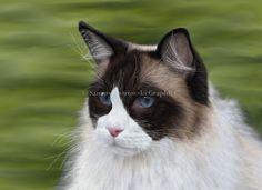 Ragdoll Cat. Digital Illustration.