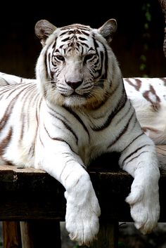One of my favs...white tiger. Such a beautiful animal!