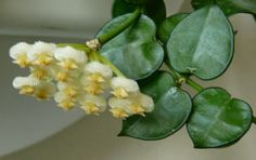 Hoya krochniana
