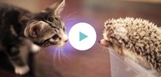 Deze kitten is ontzettend nieuwsgierig, maar eigenlijk ook wel een beetje bang... Want wat doet dat rare stekelige beestje in huis? Het stoere katje durft steeds iets dichterbij te komen.