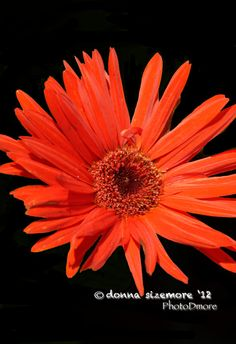 Red Daisy photo  8 x 10 photo of a bright red daisy by PhotoDmore, $20.00