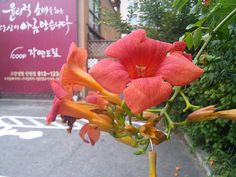 능소화 | 구중궁궐의 꽃