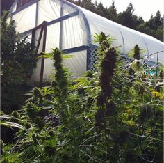 You can simply log in to the online portal and pick up all the amount of weed that you need. Cannabis Seeds For Sale, Cannabis Oil online and a lot more . place your order go to : Website: www.realweedshop.com Tel: +1 513-392-0789
