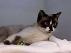 ALFREDA is an adoptable Domestic Short Hair Cat in Boston, MA.