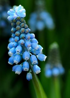 Grape Hyacinth  Muscari