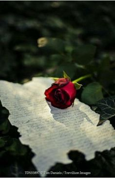 Trevillion Images - red-rose-and-old-letter Flowers Wallpaper, Sunset Wallpaper, Lizzie Hearts, Single Red Rose, Old Letters, Love Flowers, Beautiful Roses, Belle Photo, Cute Wallpapers