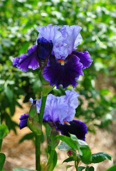 Iris, not sure this is what I have, looks like it~