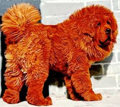 Top 10 Most Expensive dog breeds ~ The Pet's Planet