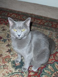 Russian Blue Cats--so soft, plush and silky--petting them is like a massage for your hands.