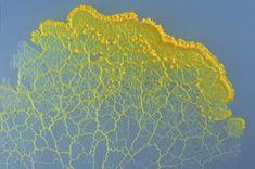 Bildergebnis für Physarum polycephalum map of Germany