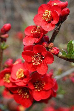 Quince (or flowering quince, or Chaenomeles, or japonica) flowers blood red beauty (Quince) Flowers Nature, Exotic Flowers, Amazing Flowers, My Flower, Spring Flowers, Flower Art, Beautiful Flowers, Flowers Garden, Art Floral