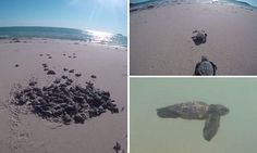 Rare breed of tiny sea turtle hatchlings has been caught on film