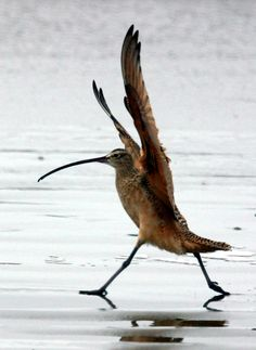 The Eskimo curlew was once one of North America's most abundant shorebirds, but was decimated by hunting for the public in the 19th century. No Eskimo curlews have been seen in about fifty years and the bird is believed to be extinct.