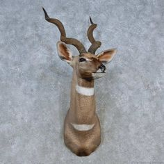 This gorgeous lesser kudu taxidermy mount is for sale @thetaxidermystore.com