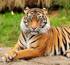Un tigre como el de la imagen ataca y mata en Terra Natura a su cuidadora