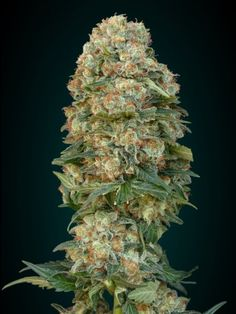 Afghan skunk is a wonderful marijuana strain perfect for beginners. This cannabis plant will produce large buds and is easy to grow.