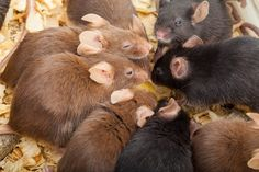 2016  - About half of mice studies fail to report the sex and age of the mice involved, despite these being recognized as key variables that can affect the outcome of scientific studies.