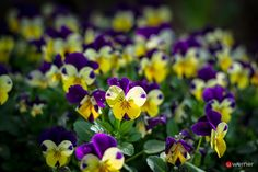 Colors of Life - Wie ein Schmetterling?  #spring #flower #life #butterfly #blume #blüte #veilchen #uwebwerner