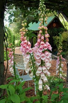 Foxgloves. Poisonous, positively beautiful, deer proof. #favorite