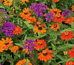 Zinnia Profusion Orange and verbena Homestead Purple  --- in a large pot or in the ground