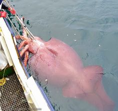 Colossal Squid, world's largest squid! These  frightening predators car reach a maximum length of 12 to 14 meters!   #scary