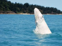 Albino Whale from a Nat Geo's new collection of photos of albino animals.