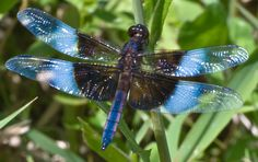 Amazing Dragonfly Insect - Dragonfly Facts, Images, Information, Habitats, News   World Most Amazing, Incredible, Cool Things