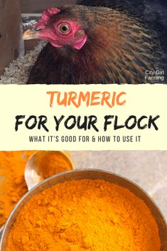Turmeric for Your Hens? - CITY GIRL FARMING Turmeric is popular and for good reason. It contains many health benefits--but what about turmeric for your hens? Chicken Garden, Chicken Life, Backyard Chicken Coops, Chicken Coop Plans, Building A Chicken Coop, Chicken Feed, Diy Chicken Coop, Chicken Runs, Small Chicken Coops
