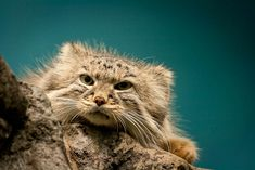 Rare Pallas cat facts you never knew you wanted to know! Otocolobus manul, also called manul. What makes this rare cat so special? Find out!