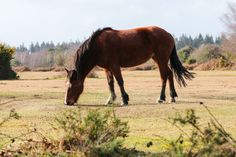 New Forest Pony | New forest pony eating the grass near Brockenhurst.