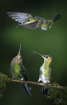 Green-Crowned Hummingbirds... The  male overhead is fighting for space.