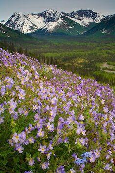 spring in Alaska ~ Jacob's Ladder wildflowers bloom along the Seward Highway, Kenai Peninsula, Chugach National Forest, Alaska
