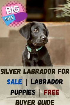 Silver Lab for Sale is on a first come first serve basis. Buying a healthy puppy is art. Certainly, with our tips and techniques, you can buy a defect-free puppy. Therefore, read the whole page and enjoy your...... #labradors4life #labradorofinstagram #labradorlover #labradorofficial Silver Labrador Puppies, Silver Labrador Retriever, Labrador Puppies For Sale, Free Puppies, Rare Dogs, Rare Dog Breeds, Silver Labs For Sale, Puppy Starter Kit, Most Popular Dog Breeds