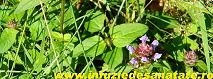 SOVARFUL (origanum vulgare)- un veritabil antibiotic natural care creste imunitatea si energizeaza organismul.