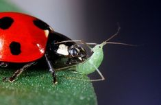Aphids are among the most destructive pests. They can cause yellowing, mottled leaves and even death in plants. Read here How to combat winged aphids ✓ Bug Control, Pest Control, Ladybug Meaning, Aphid Spray, Toronto Gardens, Integrated Pest Management, Pulling Weeds, Beneficial Insects, Companion Planting