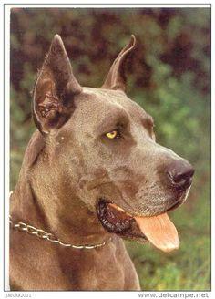 #07 DOG GREAT DANE HUNDE DOGGE REAL PHOTO POSTCARD - Delcampe.net