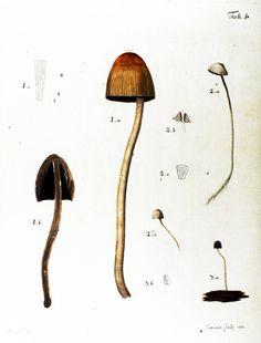Botanical - Mushroom 1783  (1)