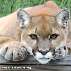 Good morning Vista ❤ Hers is such an incredible survival story. Read it at: http://www.wildcatsanctuary.org/residents/small-cats/cougars/vista/