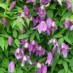 Spring - clematis Constance