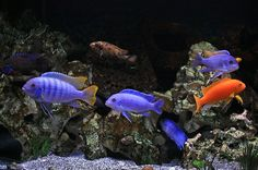aquascaping a proper cichlid habitat