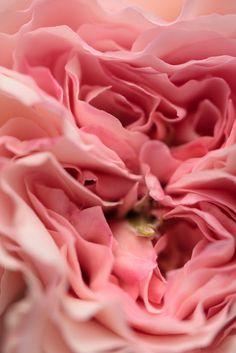 のんくり日和: 【バラ】ジェームズ・ギャルウェイが咲きました  (via http://non-kuri.blogspot.com/2013/05/blog-post_7.html )