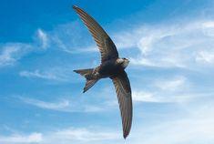 rorýs obecný (Apus apus) Swallows, Birds Of Prey, Scroll Saw, Silver Jewellery, Bird Feathers, Creative Inspiration, Beautiful World, Swift, Piercings