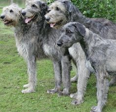 The irish wolfhound is a larger breed who is known to be very playful. Here are a few photos of the Irish Wolfhound puppy and dog. Irish Wolfhound Puppies, Irish Wolfhounds, English Mastiffs, Black Lab Puppies, Dogs And Puppies, Corgi Puppies, Doggies, Big Dogs, Animales