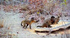 """""""O Grito do Bicho"""": Amor Animal: macaco prego"""