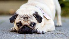 Sweet little pug