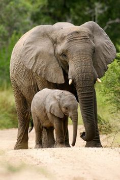Big Elephant and Baby Elephant Photography (Art Prints, Wood & Metal Signs, Canvas, Tote Bag, Photo Elephant, Asian Elephant, Elephant Love, Elephant Art, Elephant Tattoos, Elephant Family, Picture Of An Elephant, Elephant Photography, Animal Photography