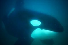 A diver accidentally went swimming with wild orcas - and he caught the whole thing on film.