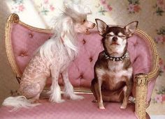 Chinese crested, Chihuahu