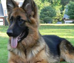 Adorable King Shepherd
