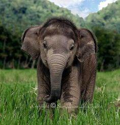 Oww so cute baby elephant    Photo by © Seangdeuan Lek Chailert  #babyanimalhd